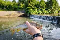 Summer trout fishing. Brown trout in anglers hand stock photography