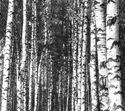 Summer trunks of birch trees black and white Stock Photos