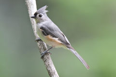 Summer Tufted Titmouse Stock Photo