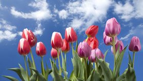 Summer Tulips Royalty Free Stock Photos