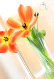 Summer tulips in bloom Stock Photo