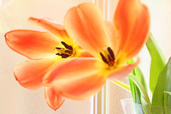 Summer tulips in bloom Stock Photography