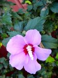 Summer vacation impressions - tree hibiscus - large pink flower against red fence background. Summer vacation impressions - tree hibiscus - one large pink flower stock photo