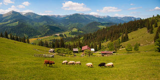 Flock of sheep in the carpathians. Hiking Travel Lifestyle concept beautiful mountains landscape on background. royalty free stock images