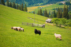 Flock of sheep in the carpathians. Hiking Travel Lifestyle concept beautiful mountains landscape on background. stock photo