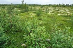 The summer vegetation in the mountain tundra, Kola Peninsula,. Russia Royalty Free Stock Images