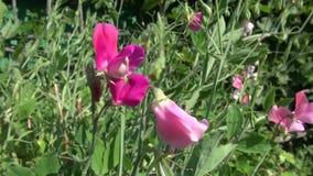 Summer vetchling Lathyrus odoratus beautiful blossoms stock video