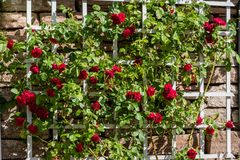 Bush of beautiful red roses growing on a white trellis. Royalty Free Stock Photography