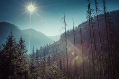 Summer view of forest with coniferous trees heavily damaged by a royalty free stock photo