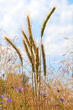 Summer view of ripe wheat. Stock Image