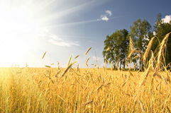 Summer view of ripe wheat. Under sun and blue sky stock images