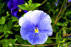 Summer view to violet pansy flower. Stock Photography