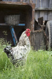 In summer, the village in the yard in the grass is a rooster. Stock Photos