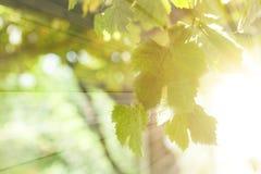 Summer vine leaves on sun light background.  royalty free stock image
