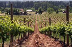 Summer Vineyard royalty free stock photo