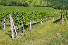 Summer vineyard Royalty Free Stock Images
