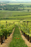 Summer vineyard Royalty Free Stock Photography