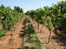 Summer Vineyard Stock Photography