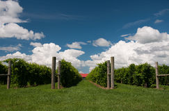 Summer vineyard Stock Images