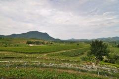 Summer vineyard landscape Stock Photo