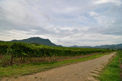 Summer vineyard landscape with walkway Royalty Free Stock Photography