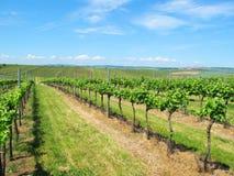 Summer vineyard South Moravia. Large sunny vineyard near Velke Bilovice in South Moravia, Czech republic Royalty Free Stock Image