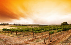 Summer Vineyard Sunrise. Sunrise over scenic Barossa vineyard stock image