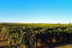 Summer Vineyard. Royalty Free Stock Photo