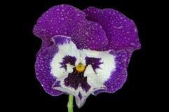 Summer violet in dew drops stock photos