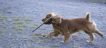 Summer walk with Cocker Spaniel. The dog carries in his teeth a stick royalty free stock photo