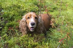 Summer walk with Cocker Spaniel. Dog in a forest glade in bright sunlight stock image