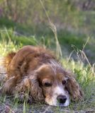 Summer walk with Cocker Spaniel. Dog in a forest glade in bright sunlight stock images