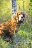 Summer walk with Cocker Spaniel. Dog in a forest glade in bright sunlight royalty free stock photo