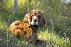Summer walk with Cocker Spaniel. Dog in a forest glade in bright sunlight stock photos