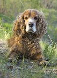 Summer walk with Cocker Spaniel. Dog in a forest glade in bright sunlight royalty free stock photos