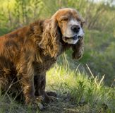 Summer walk with Cocker Spaniel. Dog in a forest glade in bright sunlight stock photo