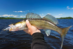 Summer walleye fishing trophy Royalty Free Stock Image