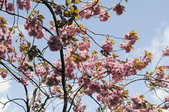 SUMMER WEATHER BLOOM ON CHEERY TREE. Copenhagen_Denmark _08 May 2017_ Cheery tree with flowers as danish summer .  Photo. Francis Dean/Deanpictures Stock Photography