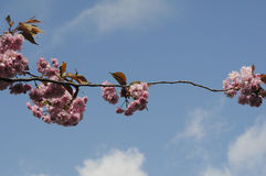 SUMMER WEATHER BLOOM ON CHEERY TREE. Copenhagen_Denmark _08 May 2017_ Cheery tree with flowers as danish summer .  Photo. Francis Dean/Deanpictures Stock Images