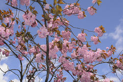 SUMMER WEATHER BLOOM ON CHEERY TREE. Copenhagen_Denmark _08 May 2017_ Cheery tree with flowers as danish summer .  Photo. Francis Dean/Deanpictures Royalty Free Stock Photo