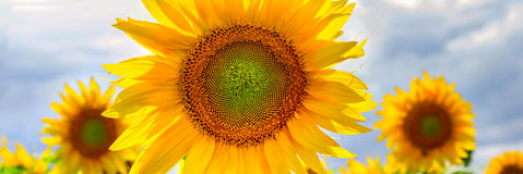 Summer web banner or backgrounds with flowers of sunflower. Against the blue sky background royalty free stock photos