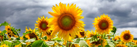 Summer web banner or backgrounds with sunflowers Royalty Free Stock Images