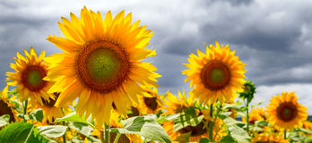 Summer web banner or backgrounds with sunflowers Royalty Free Stock Photos