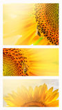 Summer web banner or backgrounds with sunflowers. Summer web banner or backgrounds with flowers of sunflower royalty free stock images