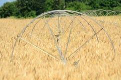 Summer Wheat Stock Photo