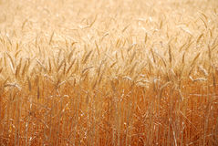 Summer Wheat Royalty Free Stock Photos
