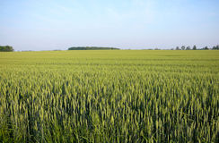 Summer wheat. Early summer wheat field in south western ontario Stock Photos