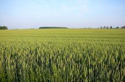 Summer wheat Stock Photos