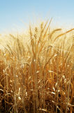 Summer Wheat. Mature wheat ears in the summer light royalty free stock photo