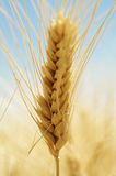 Summer Wheat. Mature wheat ears in the summer light Royalty Free Stock Image